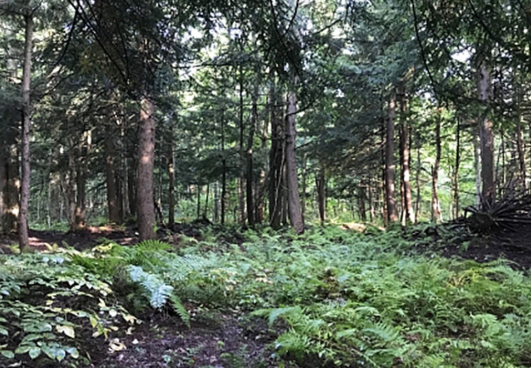 thumbnail of hunting land for sale near tug hill ny image of trees and forest